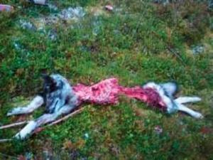 Hans Ryds meriterade hund Vappe har fallit offer för en varg.