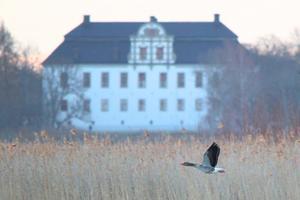 Tillbringade morgonen vid Lövstagömslet vid Asköviken. Härligt med alla fåglar som kommit. Denna grågås passerade förbi med Tidö slott i bakgrunden.