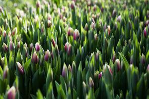 På Målsta trädgård kommer nästan två miljoner tulpaner att drivas upp den här säsongen.