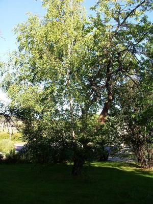 Björken skjuter ut ur körsbärsträdet och har vuxit sig femton meter högt.