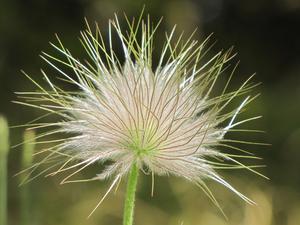 Backsippan är vacker både närden blommar och när den är överblommad.