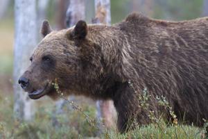 I dag har björnjakten startat. Av de 60 björna som är tillåtna att skjuta har sju fällts.