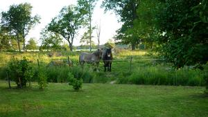 Varje dag kommer hästarna och vill ha varsin morot.