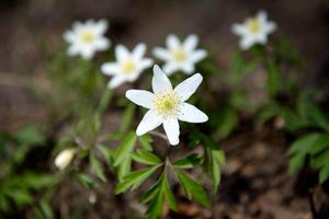 Vitsippan är vad vi skulle kalla en typisk vårblomma, men nu växer den samtidigt som... Foto: Jessica Gow / TT.