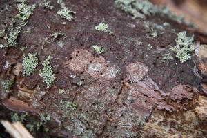 Barken är perforerad av hål där de färdiga granbarkborrarna tagit sig ut - för att angripa nya träd eller övervintra i marken.