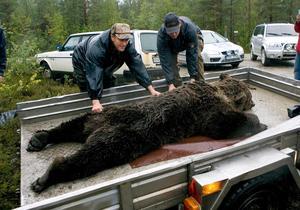 Första fällda björnen 2007, i Hemling. Arkivfoto: Leif Wikberg