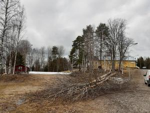 Trädfällning genomförs av Anders Westman och Roland Thelin för att få en vackrare utemiljö runt Valhallalokalen.  Foto: Ingrid Darj