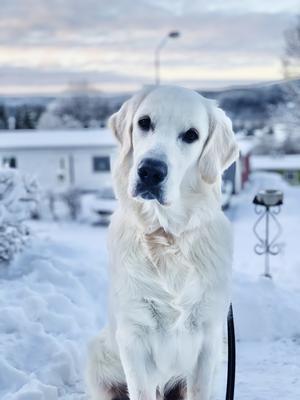 Ägaren berättar: Gibson är 8 månader gammal och gillar snö, pinnar samt att mysa i soffan (men bara en liten stund, sen blir det för varmt). Bilden är tagen den 27/12 hos husses föräldrar utanför Örnsköldsvik. Foto: Liza Sundberg