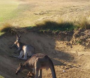 Att få vänta påatt slå ur bunkern för att ett par kängurus barrikaderat sig där är inget som händer på Dalsjö Golfklubb. Foto: Elias Willemark/Privat