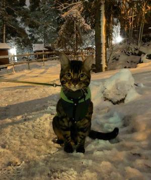 Här är Chobo. Kattkillen som gillar att hänga med matte till Hemlingby och träna. Den här eftermiddagen hälsade vi på fåren. När snön lagt sig och spåren är dragna ska vi åka längdskidor. Chobo brukar heja på så matte håller uppe farten. Bild: Stina Eliasson