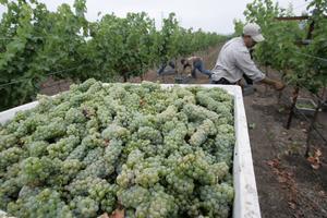 Foto: Eric RisbergSkörd av den gröna och friska sauvignon blanc-druvan.