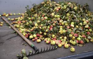 Tänk på var du slänger överbliven frukt. Foto: TT
