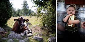 Superkossan Henrika har mjölkat mest av alla kossor i Sverige, Malte Olsson håller hårt i Henrikas pris.
