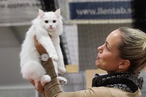 Fyra månader och en vecka gammal är sibiriern Lovis som Jennie Kjellsson Åberg, Sundsvall precis börjat träna på att åka på kattutställningar.