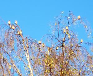 7/10 hördes i Fågelsången det ringande lätet från en flock sidensvansar på höstvisit från norr. Vackra fåglar! Oktober är här!Glad hälsning, Jan Dock