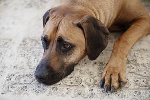 Familjens femåriga hund Simba har inte brytt sig märkvärt över sin nya hundkompis.