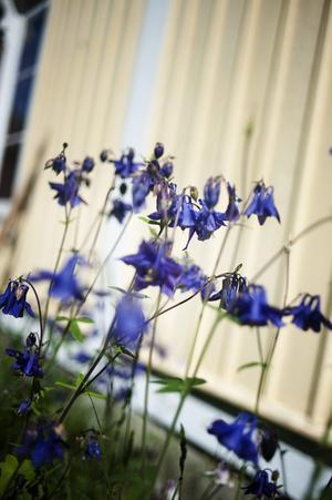 Trädgården var helt igenvuxen. Vartefter Elin och Andreas har röjt har de hittat många sorters blommor, bland annat pion, höstaster, plymspirea och här akleja.