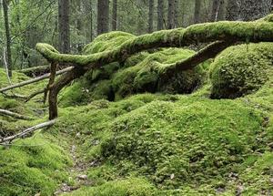Sörbyskogen är ett stycke urskog nära örebroarnas hjärtan.