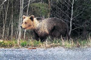 En gemensam tillsyn kommer att genomföras under höstens björnjakt av polisen och länsstyrelsen. Syftet är att säkerställa att jaktlagstiftningen följs.