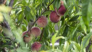 Persikorna är mogna och redo att ätas. Ungefär 50 stycken har trädet gett under säsongen.