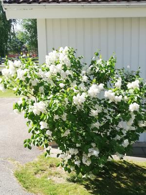 Vita syrener i sin blomsterprakt.