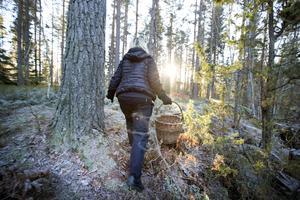 Malin Klingberg har hittat massor av trattkantareller i skogen. Hon planerar att göra eget svampmjöl.