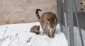Leopardungen Janga på upptäcktsfärd med mamma Soraya. Foto: Pressbild.