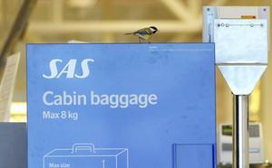 Här förgyller en förirrad talgoxe mätningen av kabinbagaget.   Foto: Johan Nilsson/TT