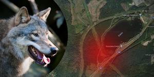 Under måndagen såg Petri Argillander en varg springa över riksvägen i riktning mot elljusspåret runt Eskiln. Vargen på bilden är inte samma som sågs vid det aktuella tillfället.