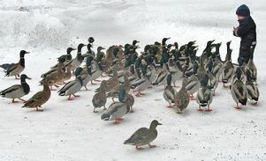 Det känns osäkert om vi får någon snö i år, men förra året såg det ut så här vid ungefär samma tid: En liten parvel matar änderna vid svartån i Västerås centrum.