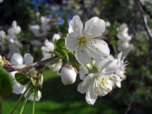 Nu längtar väl alla till våren och sommaren. Som ett förskott på något som komma skall - även om det just imorse kändes som det dröjer länge till - så här fint blommade vårt körsbärsträd förra året.