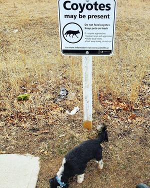 """""""Losgubben"""" drar paralleller mellan synen på coyotevargen i Oaksville, Kanada och rovdjurspolitiken i Sverige."""