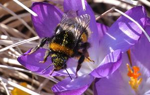 Vår livsmedelsförsörjning är i behov av humlor och andra insekter. Foto: Johan Nilsson/TT