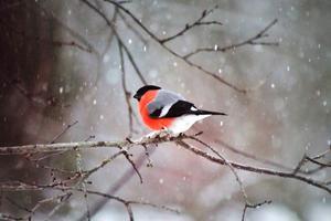En mulen dag kom det både snöflingor och en domherre. Foto: Monica Litz.