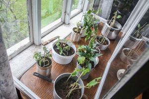 I ett provisoriskt växthus på övervåningen i torpet står en del plantor redo att sättas ut.
