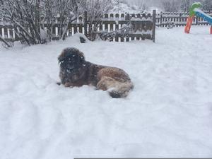 Om bilden: Nala, Dragongårdens Vogue, som älskar snö och vill rulla in hela sig i den när den äntligen kommer. Foto: Maria