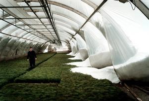 På Nässja plantskola i Österfärnebo brast väggarna och snöns vällde in över tallplantorna.
