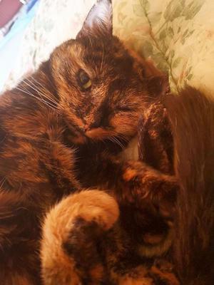 108) Det här är min lilla Lussekatt, Sesam heter hon. Hon är ungefär 11 år gammal och hon älskar att rulla ihop sig själv- lite som en riktig lussekatt. Foto: Mona El-Mahmadi