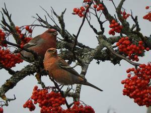 Tallbitar som sitter och äter i rönnbärsträdet vid Önsta IP. Bild inskickad av Margareta Svärd.