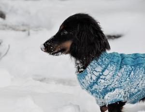 Om bilden: Detta är dvärgtaxen Daim. Han är född i juni i år och denna bild är tagen under hans allra första lek i snön. Foto: Louise Rennelöv