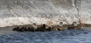 Antalet rödlistade arter har ökat med elva procent sedan sist och är nu långt fler än 4 000. Andelen hotade fåglar har ökat med 21 procent. Vår älskade ejder har åkt ner ett steg till och är ännu mer svår att få syn på i den yttre skärgården, skriver åtta företrädare för Naturskyddsföreningen Roslagen. Foto: Roine Karlsson.