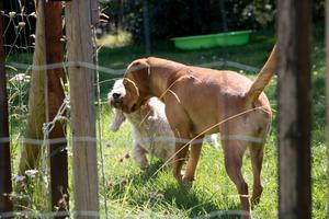 """""""Det är viktigt att ha en hobby tror jag. Jag har mina hundar"""", säger Åsa. Ginza är en sex år gammal petite basset griffon vendeen. Hitom henne står  labrador retrievern Lovis, 1,5 år."""