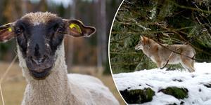 Vargen och fåret på bilden har inget med skyddsjakten i Åmot att göra.