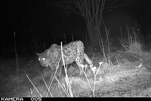 En leopard i Norrtälje kommun? Nej, men ett vackert lodjur som passerar en viltamera för ett par år sedan. Trots att det numera är tillåtet att ha viltkameror, så kallade åtelkameror, så har inte många rapporterat eller skickat in bilder  till Länsstyrelsen. Nu vädjar de till allmänheten att hjälpa till för att de ska kunna inventera rovdjur. Foto: Länsstyrelsen Stockholm