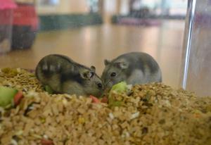 De vintervita hamstrarna Electra och Cinderella kan gott kosta på sig att koppla av lite efter att ha kammat hem en första- och andraplats i standardklassen. BILD: SAMUEL BORG