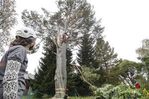 – Fördelen med att klättra är att man kommer åt mycket bättre än med kran, man får en känsla för trädet, säger Susanne Günther som sköter repbromsen.