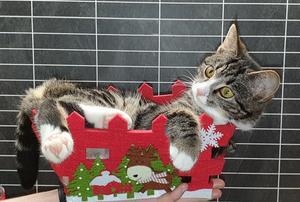 Tezla är en av de katter som är med och tävlar! Skicka in din bästa bild på din kisse. Foto: Ylva Welén