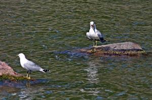 Ser ut som att måsarna diskuterar något. Kanske handlar det om båttrafiken, fiskelyckan eller kanske om den närgågna fotografen ?