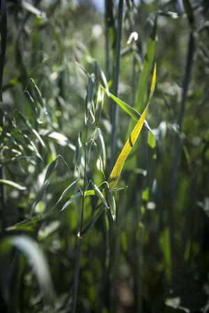 Om bönderna har otur leder den torra sommaren till att kornen i havreväxterna inte blir tillräckligt stora för att säljas som havregryn.