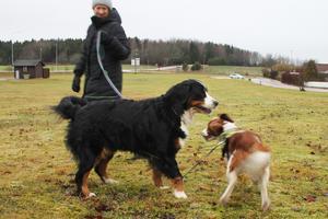 Det är svårt för hundarna Maja och Julie att leka när kopplen är i vägen. Som nyinflyttad hundägare har Sara Lodén lärt känna andra Irstabor med hund.